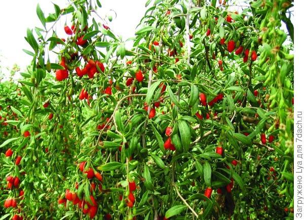 ягоды годжи что это такое барбарис