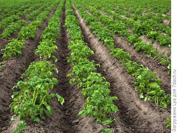 Направление картофельных борозд на участке - с севера на юг