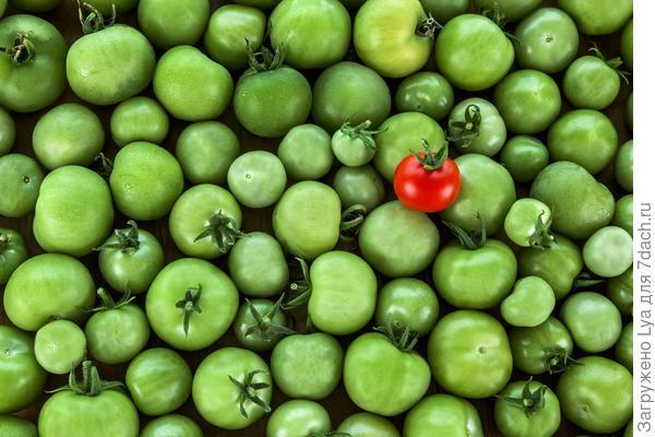 Если положить рядом с зелёными помидорами спелый, то покраснение незрелых собратьев убыстряется многократно