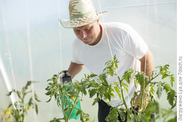 Подкормка йодом ускоряет созревание томатов