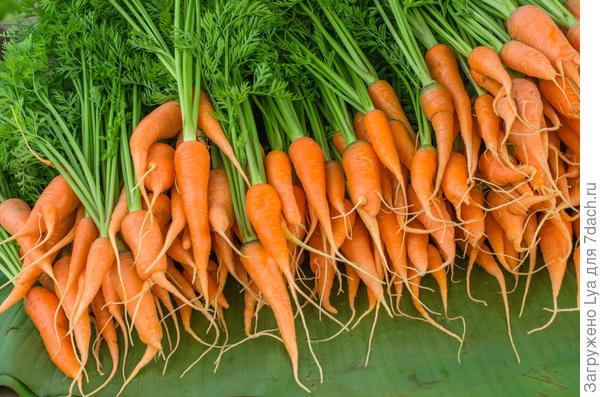 Пучковая морковь