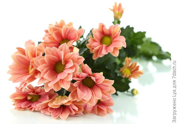 Ветка хризантем