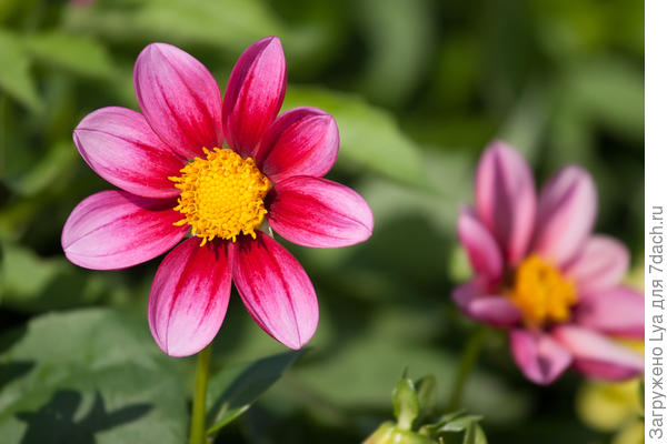 Если хочется порадовать себя цветами среди зимы, позаботиться об этом нужно уже сейчас