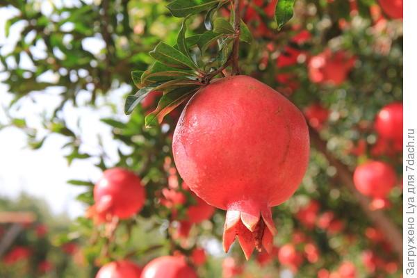 Кожура приобретает насыщенный красный или желто-розоватый в крапинку цвет
