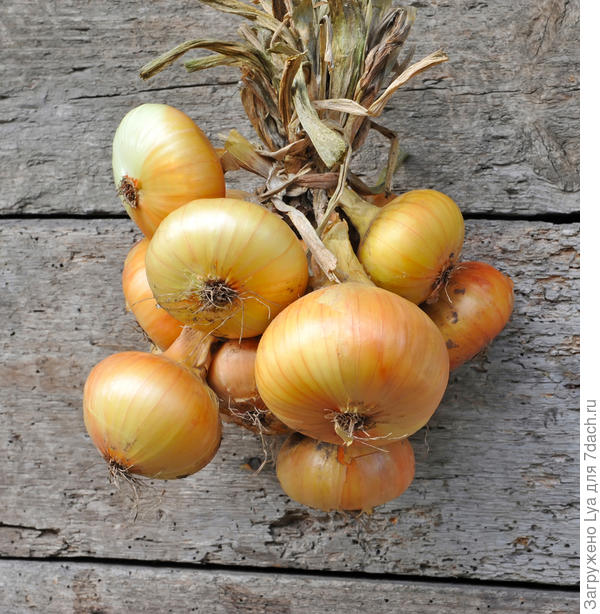 фиолетовый и красный лук когда убирать как хранить выращивание и уход с фото