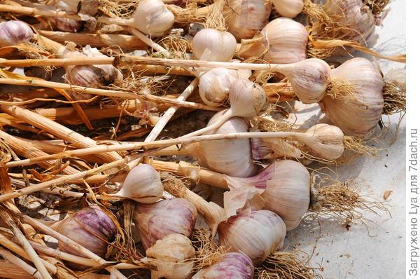 Сухие луковицы чеснока