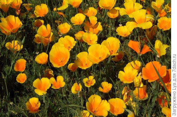 Эшшольция (Eschscholzia califomica)