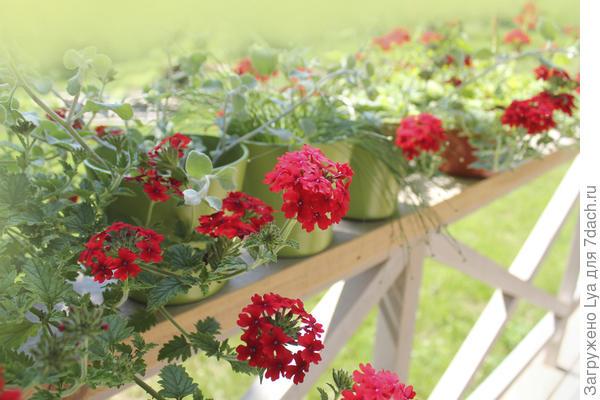 Эти цветы превосходны не только для миксбордеров, рокариев, рабаток и клумб