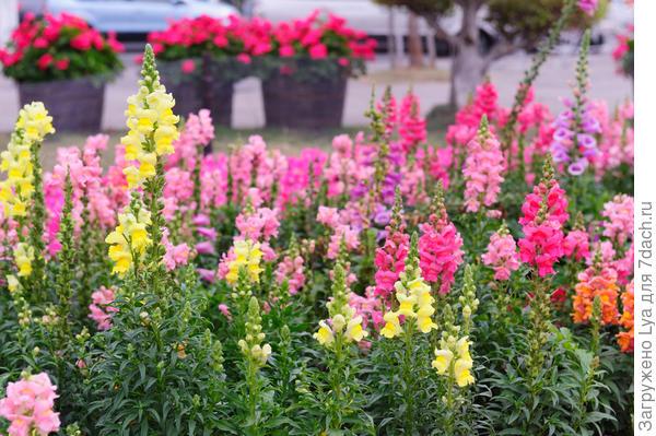 В наших краях этот цветок часто именуют просто «собачками»
