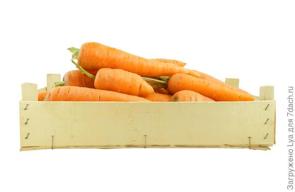 Лучше хранится морковь, убранная в возрасте 100-110 дней