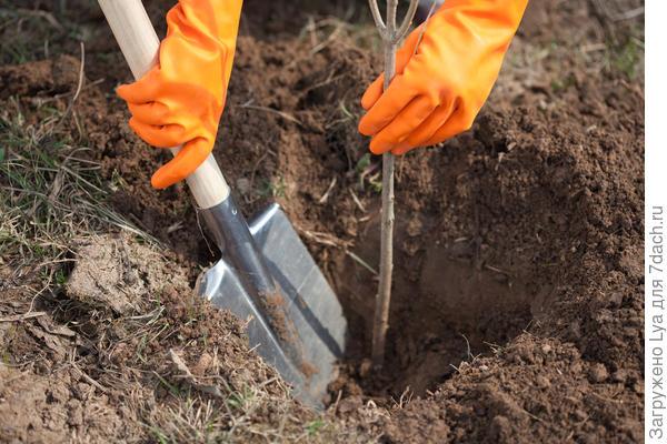 Когда сажать деревья — весной или осенью?