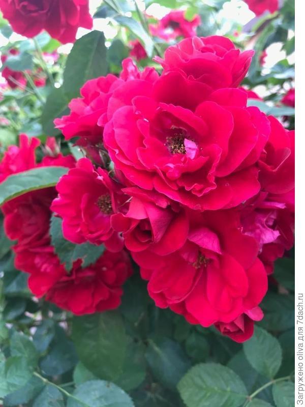 первая неизвестная роза