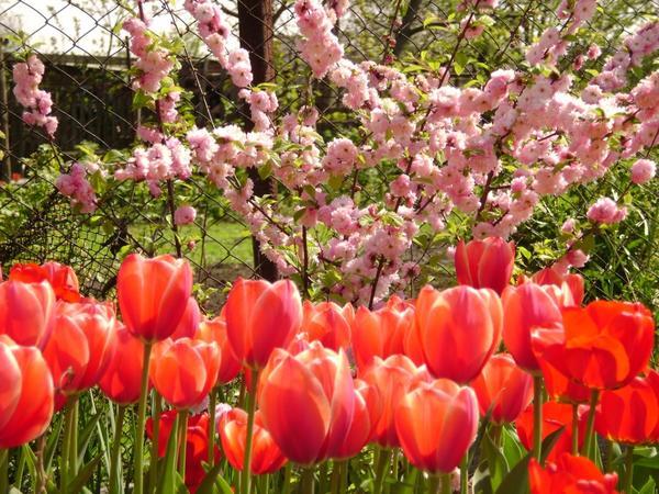 Садовый миндаль и тюльпаны Эрик Хофсью