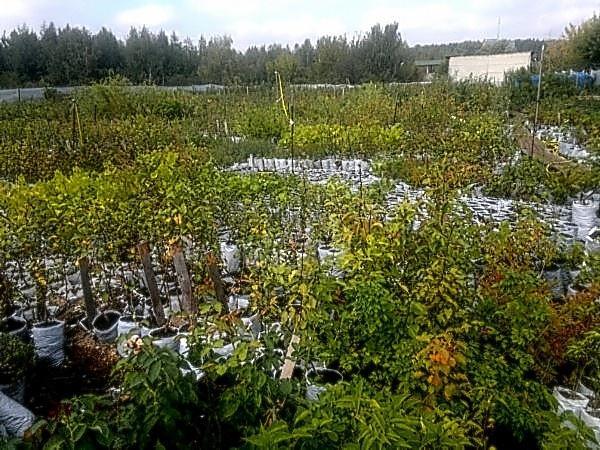 Саженца и посадке плодовых деревьев