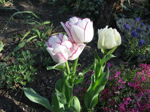 Тюльпан-загадка...