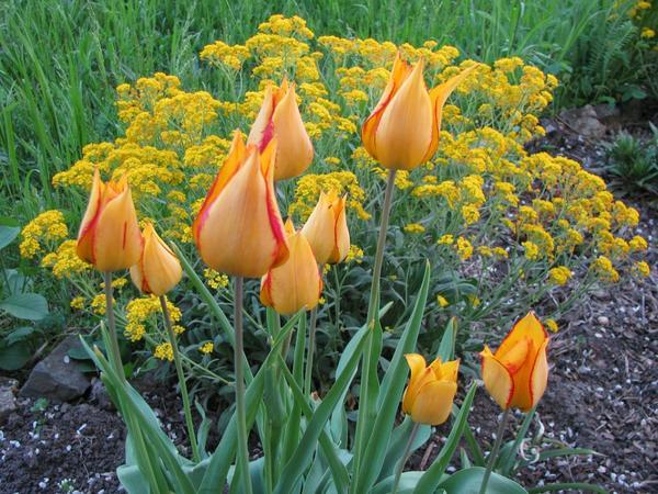 Дейпим (Tulip Deupim)