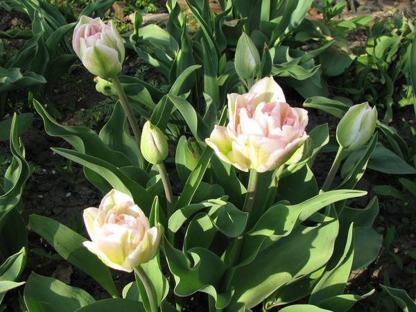 Анжелика (Tulip Angelique)