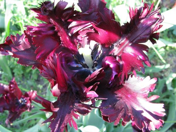 Блэк Перрот (Tulip Black Parrot)