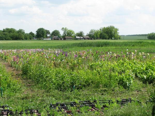 Фрагмент плантации ирисов