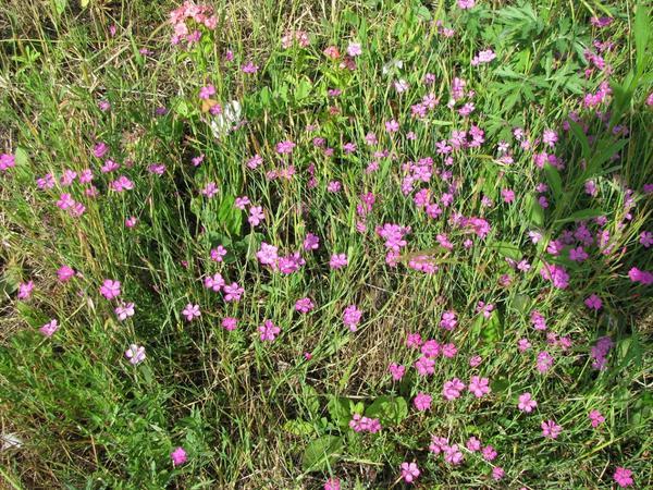 Гвоздика травянка (Diánthus deltoídes)