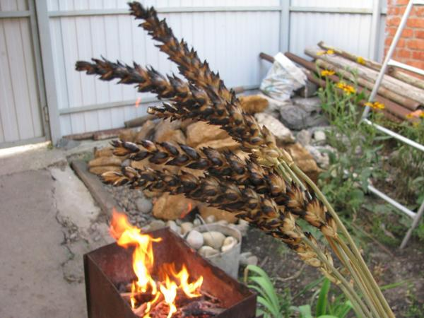 Жарим пшеницу!)