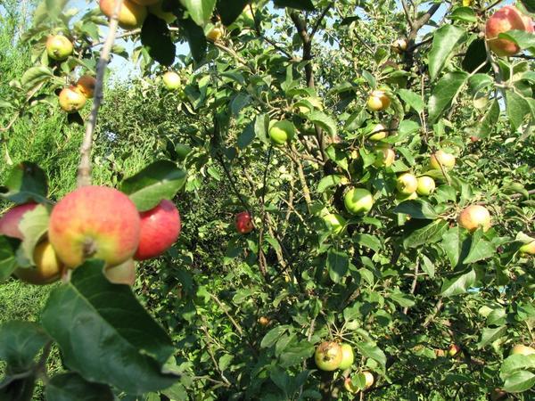 Ранние яблоки уже почти созрели!
