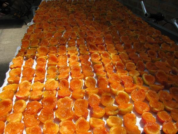 Сушим абрикосы!