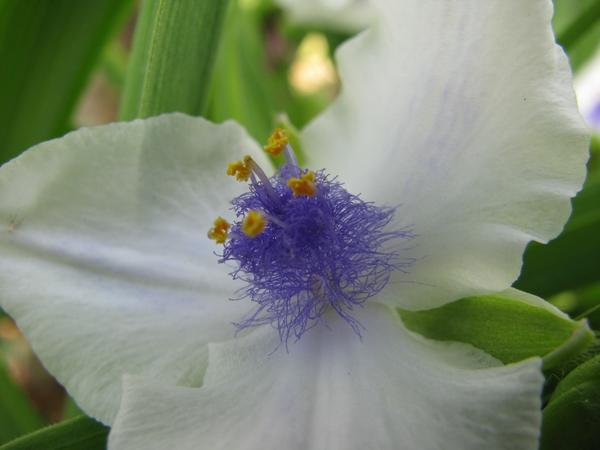Цветок традесканции крупным планом