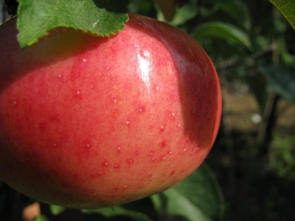 Яблоко сорта Мелба