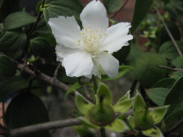 Чубушник садовый