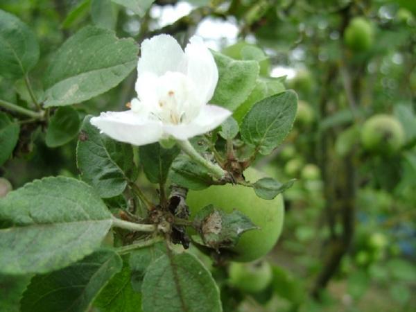 Яблоня с яблочками и цветком
