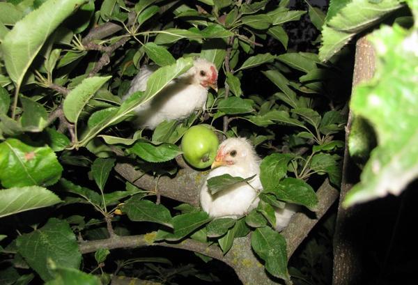 Изгои на яблоне