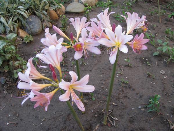 Амариллис белладонна (Amarýllis belladónna)