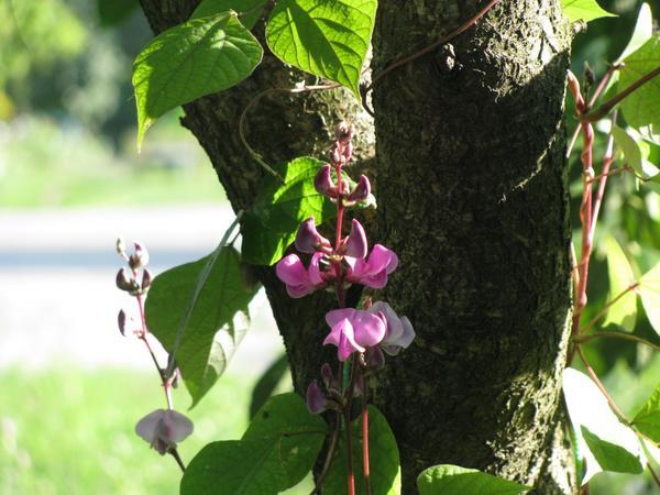 Бобы гиацинтовые Фиолет