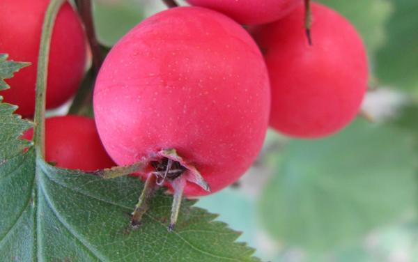 Крупноплодный боярышник