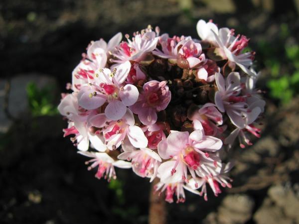 Дармера цветет