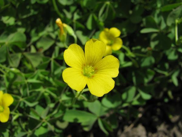 Цветок кислицы
