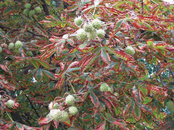 Вот так выглядит каштановая листва осенью