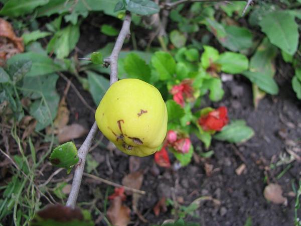 Созревание плодов не мешает хеномелесу цвести второй раз!