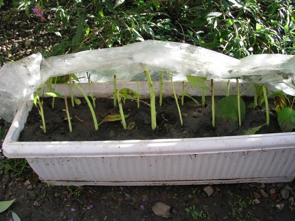 Тепличка с осенними черенками травянистого гибискуса