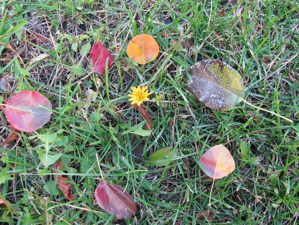 Листья груши-дички