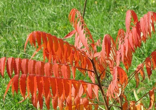 Осенний сумах