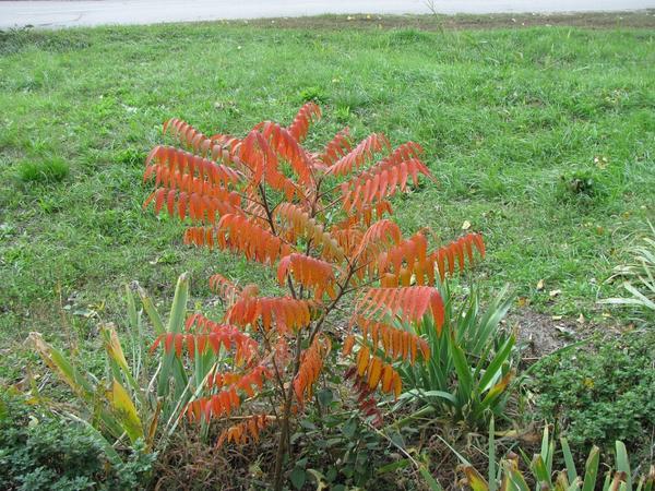 Сумах на фоне зеленой травы