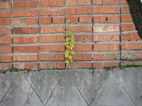 Росток дерева