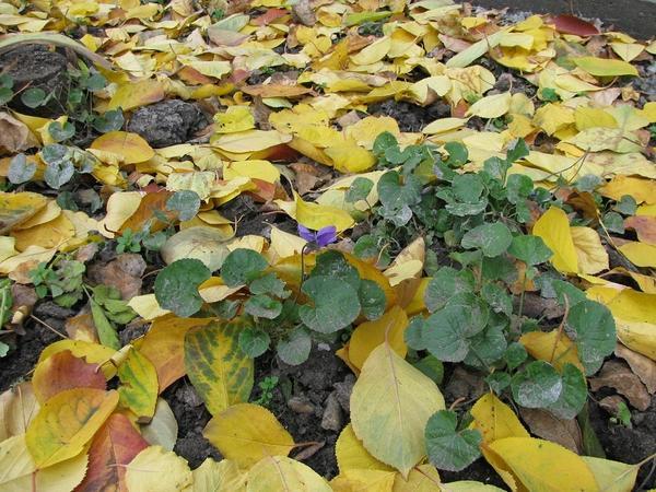 Фиалка среди опавших листьев