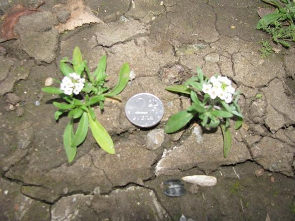 Алиссум морской (Alyssum maritimum)