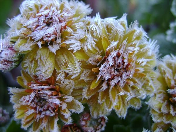 Мелкоцветковые хризантемы в инее