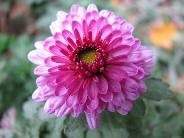 Мелкоцветковая хразантема