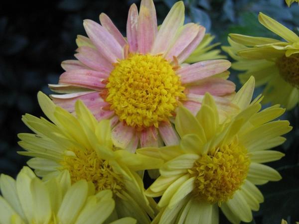 Мелкоцветковая хризантема