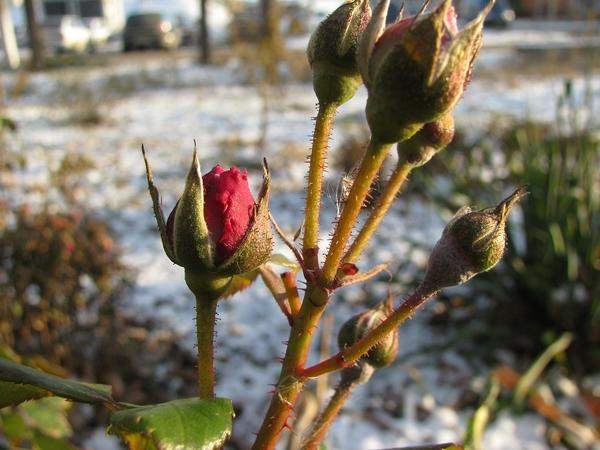Замерзшие бутоны роз